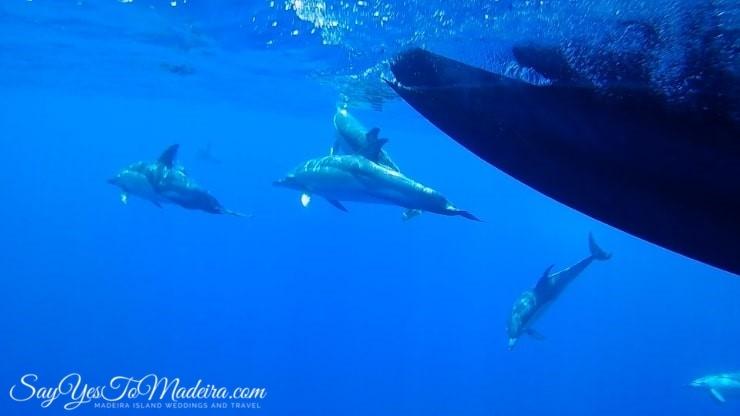 Delfiny Madera - rejsy obserwacji delfinów i wielorybów na Maderze. Pływanie z delfinami na Maderze. Delfiny - Ceny rejsów Funchal.