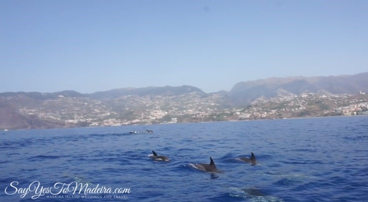 Swimming with dolphins Madeira. Dolphin watching Madeira, Portugal