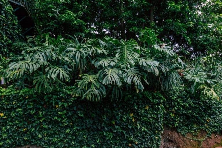 Monstera deliciosa plant, Madeira Island, Portugal. #monstera #urbanjungle #madeira #portugal #monsteraplant Fot: zielonabombonierka