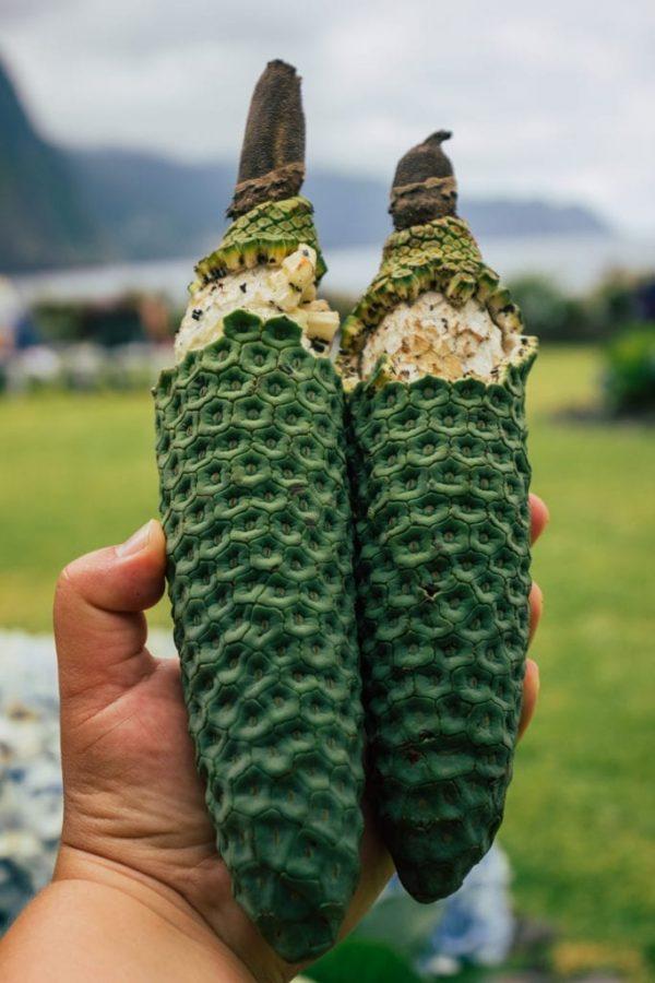 Monstera deliciosa fruit - fruto delicioso, fruto maravilha, philodendron, Madeira Island, Portugal. #monstera #urbanjungle #madeira #portugal #monsteraplant #monsterafruit Fot: zielonabombonierka