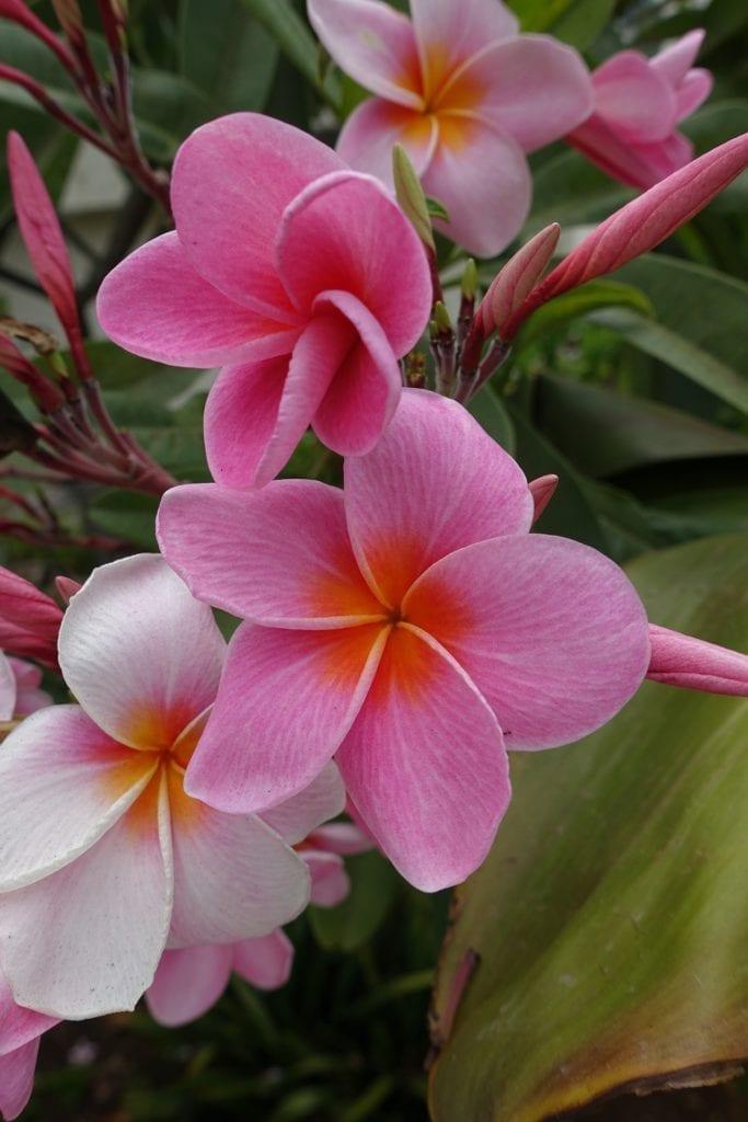 Plumeria flower - ideal for a tropical style wedding / Kwiat plumerii - wspaniały do bukietu ślubnego i na ślub w stylu tropikalnym