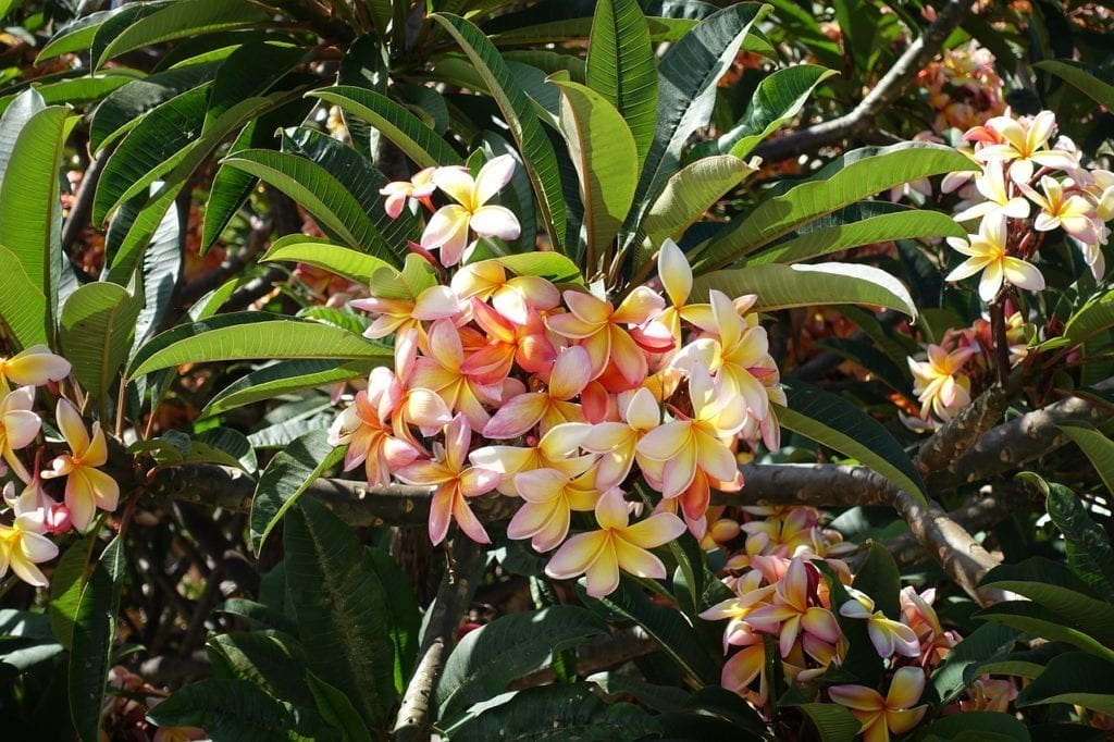 Plumeria flower - ideal for a tropical style wedding / Kwiat plumerii - wspaniały do bukietu ślubnego i idealny na ślub w stylu tropikalnym