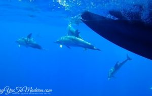 Madeira dolphins - Dolphin and whale watching tours Madeira Portugal